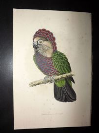 Greene Parrots in Captivity 1887 HC Bird Print. Hawk Headed Parrot